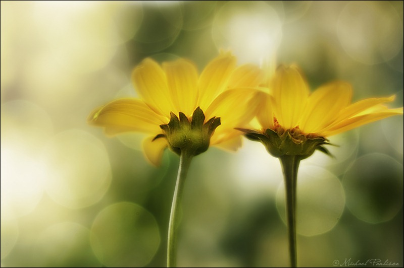 JockeyHollow-YellowFlowersBokeh